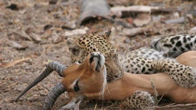 Çita avının hamile olduğunu görünce bırakıp uzaklaştı