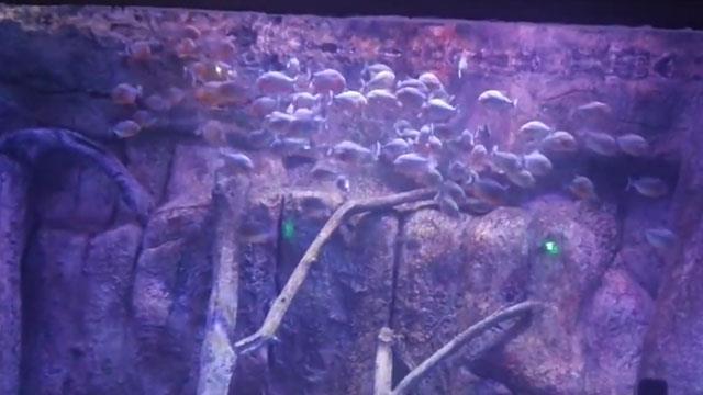 Piranalar bütün tavuğu saniyeler içinde parçaladı!