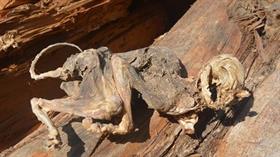 Sivas'ın Kavakderesi köyünde 500 yıllık ağacın içinden hayvan iskeleti çıktı