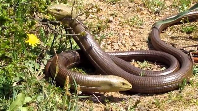 Aydın'da iki yılanın dansı büyüledi