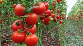 Antalya'da 4 liraya üretilen domates İstanbul'da 14 liraya satılıyor