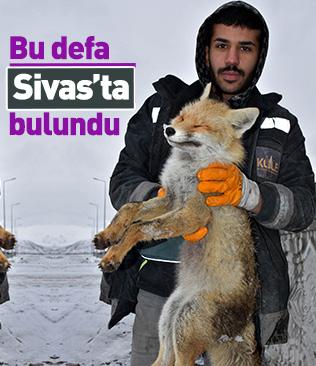Sivas kent merkezinde tilki donmuş halde bulundu