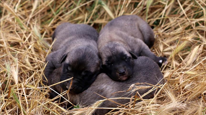 Kangal köpeklerinin yavrusunu yeme sebebi hormon eksikliği