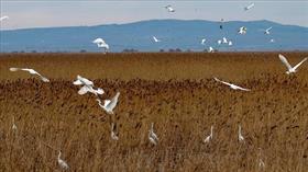 Uluabat Gölü'nde su kuşu popülasyonu arttı