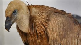 Zehirlenen kızıl akbaba tedavi edildi