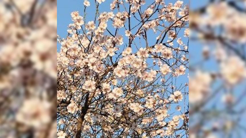 Didim'de bademler çiçek açtı