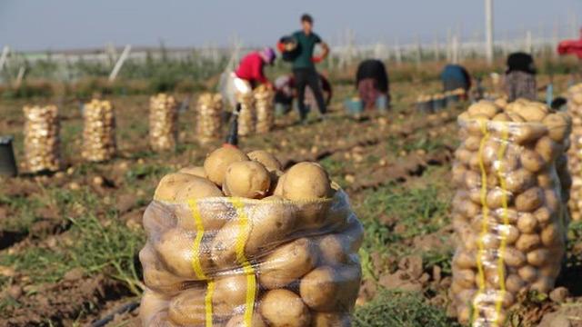 Tanzim satış noktalarına Niğde'den günde 6 kamyon patates gidecek
