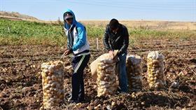 Tarım ve Orman Müdürülüğü: Aksaray'da patates ekimi yasaklanmadı