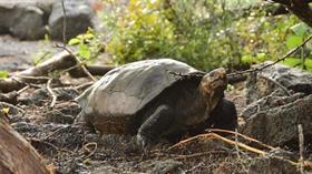 Nesli tükendiği düşünülen dev kaplumbağa türü Galapagos, Fernandina Adası'nda ortaya çıktı