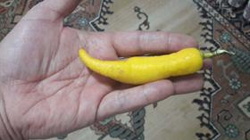 Biber görünümlü limon görenleri hayrete düşürdü
