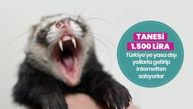 Sarsangiller türü 'feret' yasak olmasına rağmen internetten satılıyor!