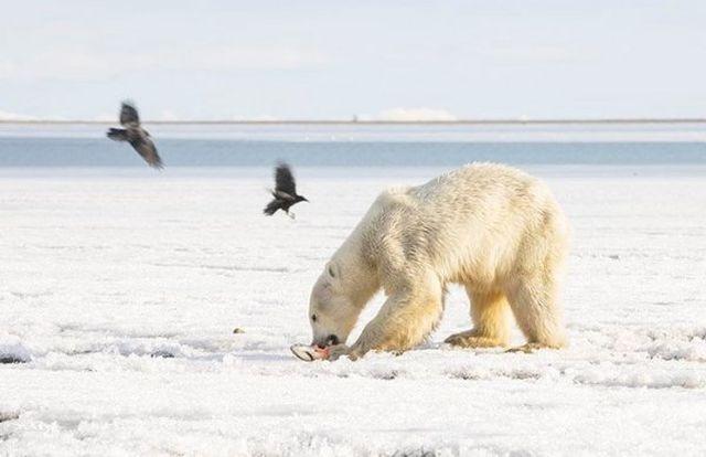 Aç kalan kutup ayısına köylüler yardımcı oldu
